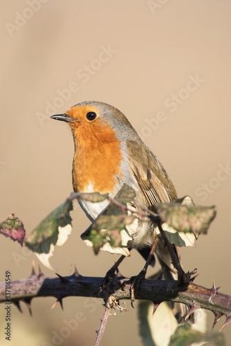 Poster European Robin, Erithacus rubecula, Robin