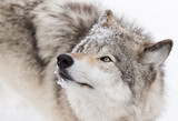 Timber Wolf close-up in winter