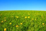 Field of dandelions.Spring landscape.