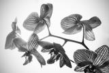 Ramo di orchidea in bianco e nero