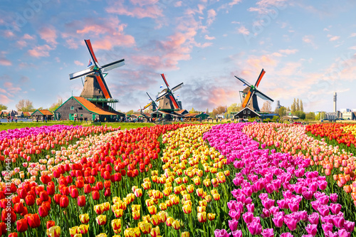 Fotobehang Amsterdam Landscape with tulips in Zaanse Schans, Netherlands, Europe