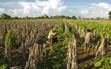 corn fields in Guatemala