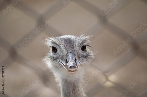 Poster Ostrich in captivity