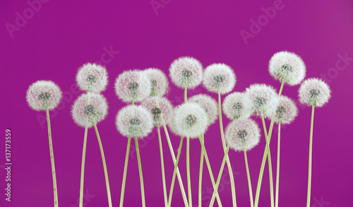 Dandelion flower on pink background