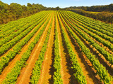 Aerial view of vineyard in Coonawarra region Australia featuring rows of grapes ands vines - 137176779