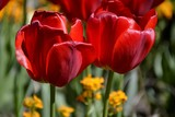 Details from red tulips and leaves