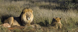 Lion (Panthera leo) adult male and cub. Kalahari. Northern Cape. South Africa.