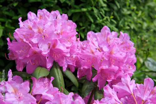 Plexiglas Azalea Beautiful pink Rhododendron.