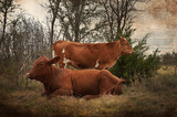 Farm cattle in country pasture with grunge antique look.