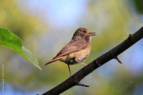 Poster Redstart sitting on a branch in spring