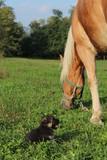 Cavallo e Cagnolino 1