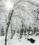 bosco con neve fresca