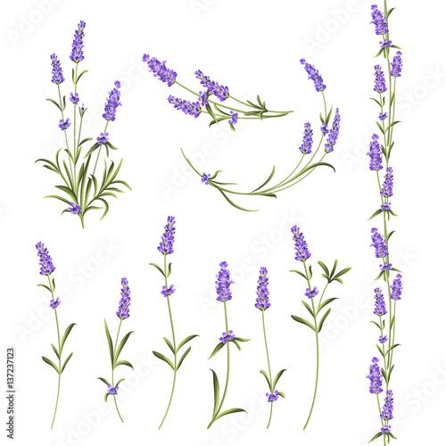 Set of lavender flowers elements. Botanical illustration. Collection of lavender flowers on a white background. Vector illustration bundle. - 137237123