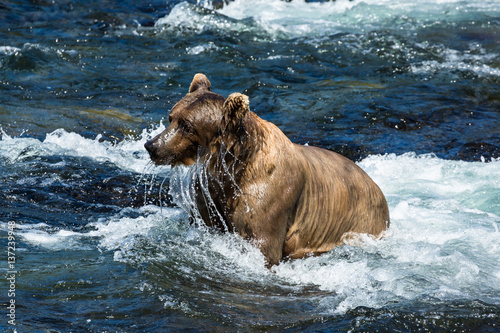 Wet grizzly bear dripping water from face - 137239948