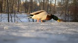 Male mallard (Anas platyrhynchos) on the snow in winter park