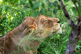 African lioness relaxed in the grassland