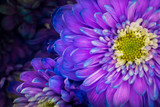 Gerbera blue and violet