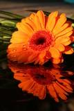 Gerbera mit Wassertropfen gespiegelt