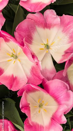In de dag Candy roze Tulips in Dutch public Spring flower Garden Keukenhof Lisse, Zuid Holland, NLD