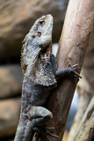 Hooded Dragon, Lizard, Reptile