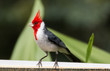 Red-crested Cardinal in Maui