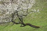 Blühender Kirschbaum in Schräglage