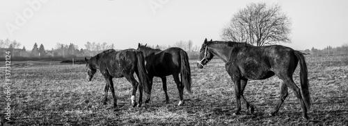 Panorama Pferde Monochrom