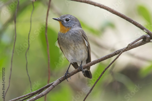Poster The taiga flycatcher or red-throated flycatcher is a species of migratory bird in the family Muscicapidae