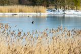 White-tailed eagle (Haliaeetus albicilla) standing alone on frozen sea in coastal landscape in winter. Reed in foreground. Location Hjortahammar in Blekinge, Sweden.