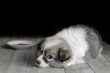 Small puppy lies next to the plate of food on the old Wooden floor. Black background and selective focus.