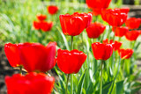 Beautiful scarlet red tulips flowerbed closeup. Flower background