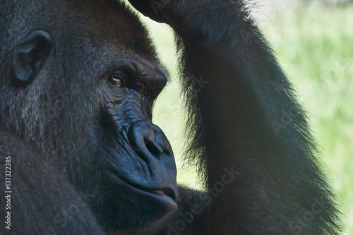 Poster Pensieri di Gorilla