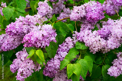 Lilac fresh blooming tree with violet flowers and green leaves