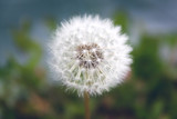 Close up of grown dandelion and dandelion seeds