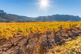 vignobles des Côtes Catalanes sous le soleil d'automne, Roussillon, France