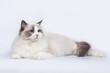 Beautiful cat ragdoll with blue eyes on white background.