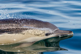 Long-beaked Common Dolphin close-up