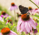Echinacea purpurea   with butterfly