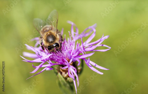 Springtime concept - honeybee working on a purple flower