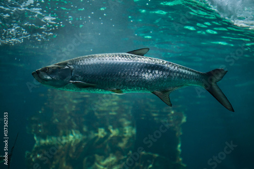 Atlantic tarpon (Megalops atlanticus). Poster