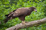 Female bald eagle (Haliaeetus leucocephalus).
