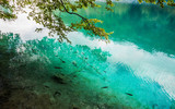 School of fish swimming in a forest lake in the crystal clear turquoise water. Plitvice, National Park, Croatia