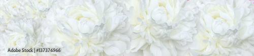 panorama  white peonies