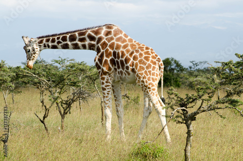 Poster Giraffe on the Savannah