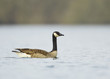 Canada Goose (Branta canadensis) swimming in water, the Netherlands