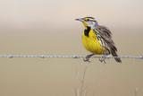 Eastern meadowlark (Sturnella magna) on wire, Kissimmee, Florida, USA