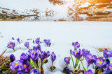 Fototapety Spring crocuses in melting snow