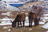 Burros zamoranos en las montañas nevadas