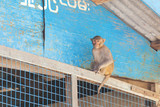 Monkey on a fence near blue building at Mount Popa Burma