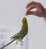 Green wavy parrot. Parrot on hand. Parrot eating out of your hand.